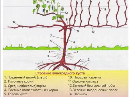 Строение виноградного куста (часть I)