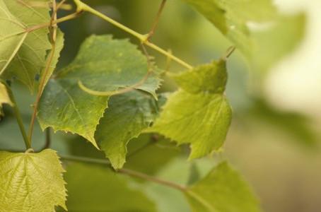 Строение виноградного куста (часть II)
