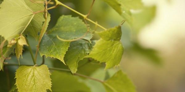 Строение виноградного куста, особенности ухода за виноградом и термины виноградаря - все в одной статье. Приятного прочтения!