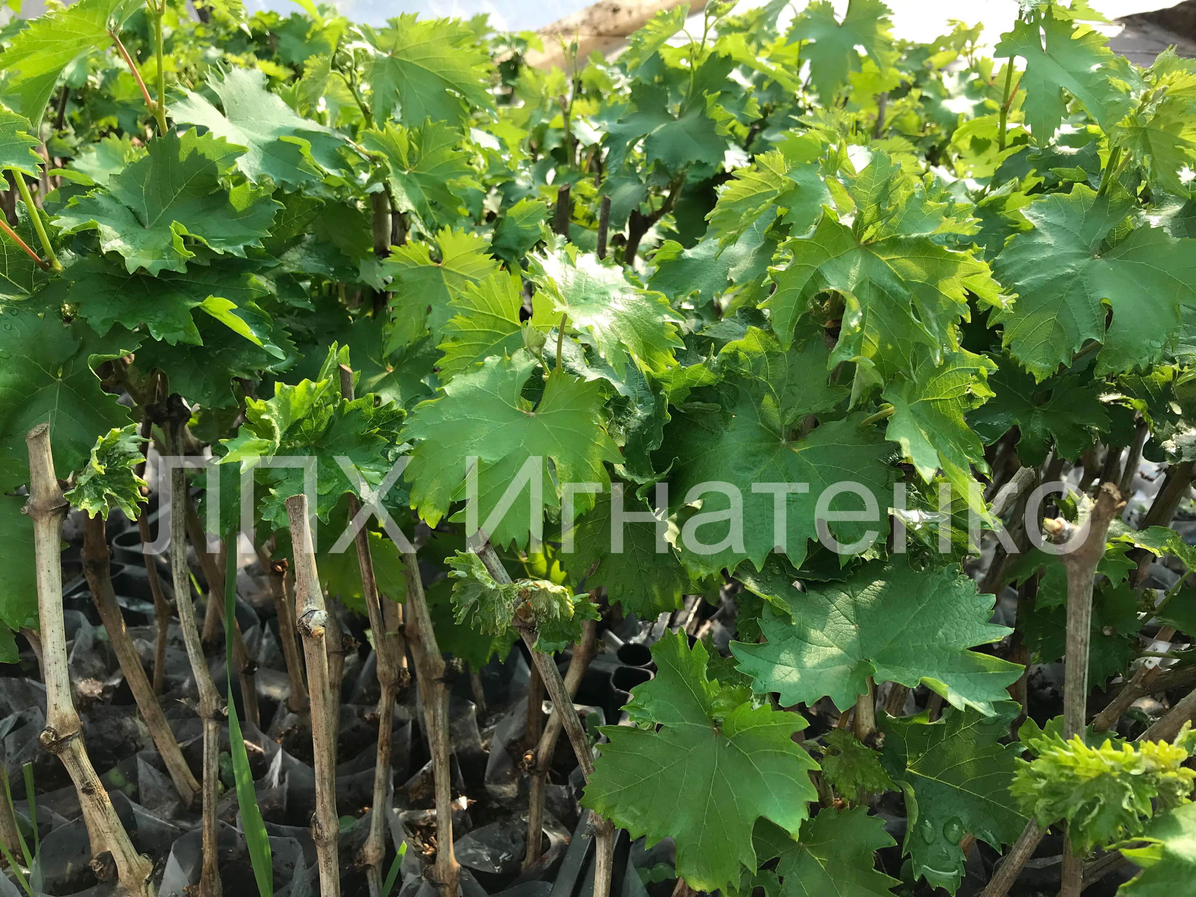 vegetiruyushie-sagencu-vinograda-opisani