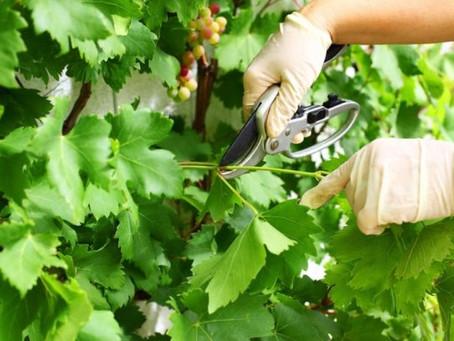 Как посадить и вырастить виноград?-Посадка и особенности ухода за виноградом (часть II)