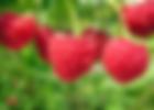 Купить саженцы малины