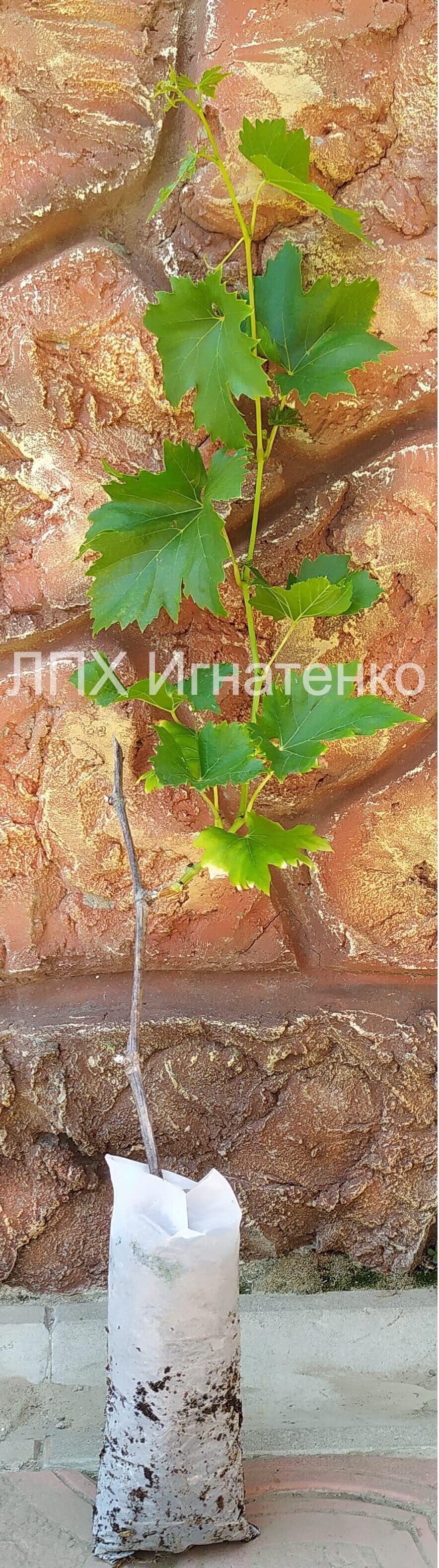 vegetiruyushij-sagenec-vinograda-kupit-v