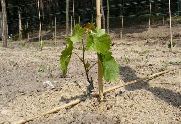 Посадка вегетирующих саженцев винограда