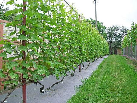 Как ухаживать за виноградом? Подвязывание и обломка зеленых побегов