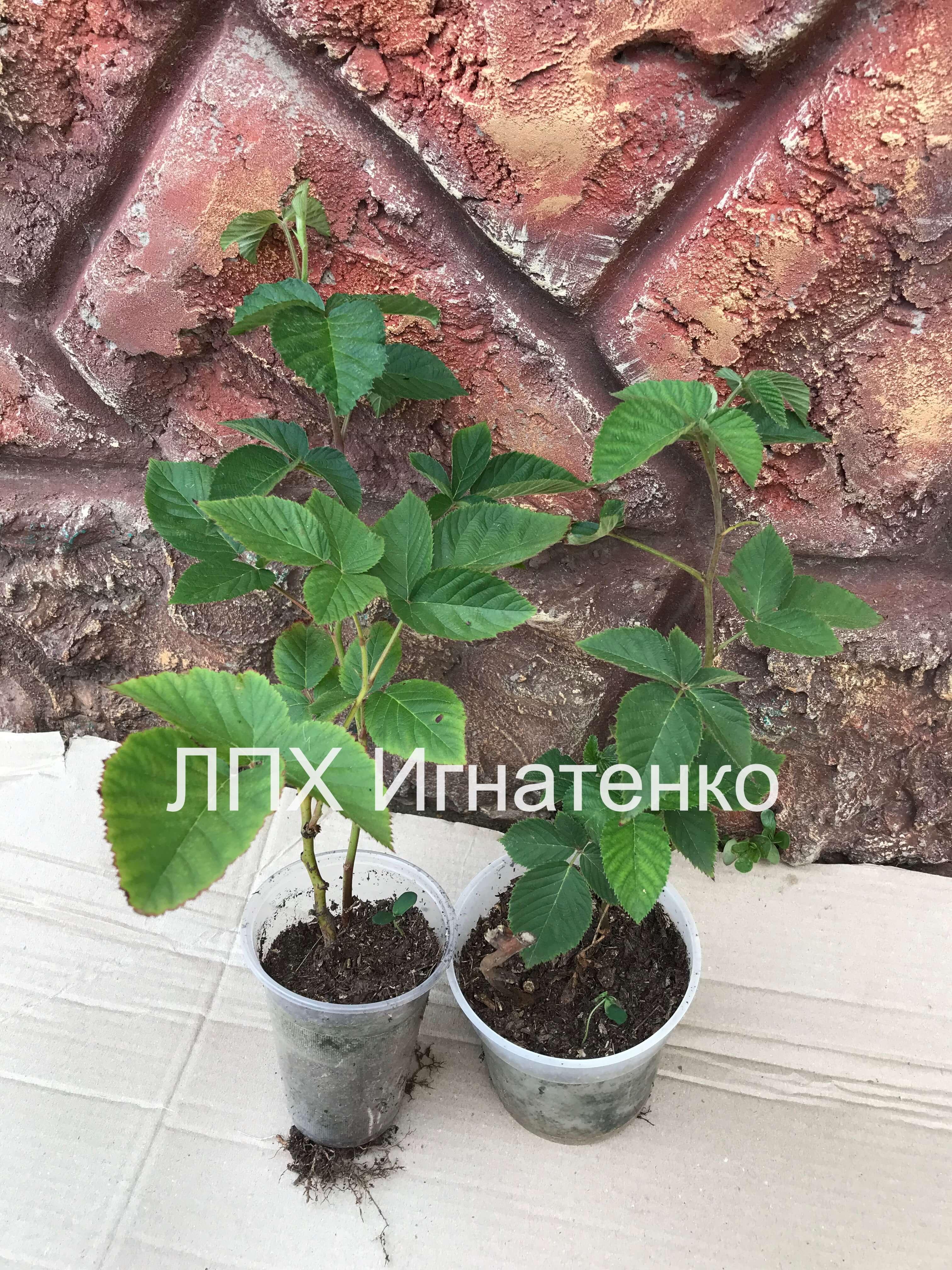 vegetiruyushie-sazhentsi-ezheviki-opisan
