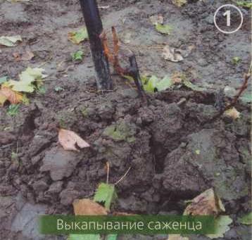Как посадить виноград ? (часть I) Советы по посадке саженцев винограда