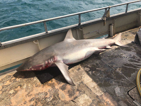 Huge opportunity to end NSW shark netting!