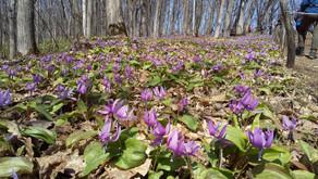 春の花を愉しみに 突哨山