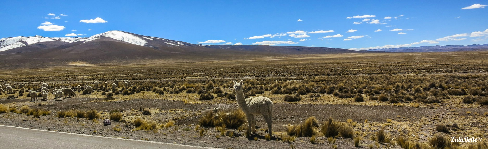 The Altiplano Llama, A2A Expedition