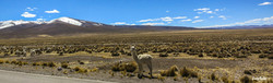 The Altiplano Llama, A2A Expedition