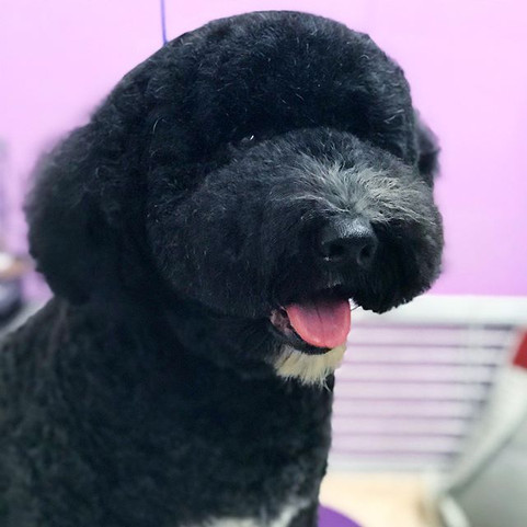#portugesewaterdog #teddybear  #daily #d