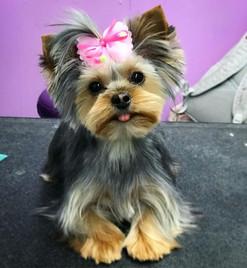 Baby Bella with her bow. #yorkiesofinsta
