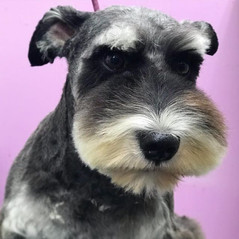 Schnauzer with a puppy face._#pawsinclaw