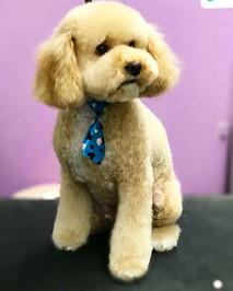 #poodle #poodlesofinstagram #toypoodle #
