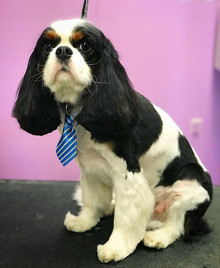 Handsome Aero after grooming! #cavaliers