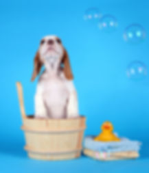 puppy beagle sitting in a tub with bubbl