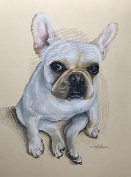 Coconut French Bulldog