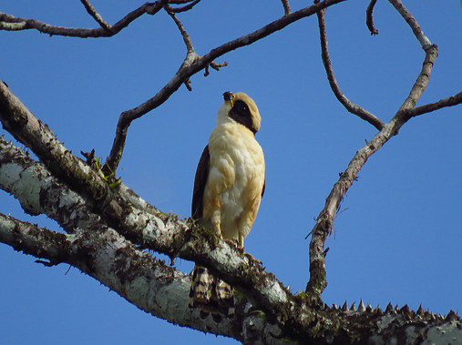 Laughing Falcon