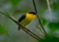 Golden-collared Manakin 1.jpg