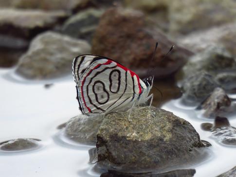 Astala Eighty-Eight Butterfly