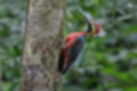 Crimson-bellied Woodpecker 1.jpg