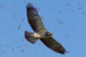 RLK_8437 Swainson's Hawk.jpg