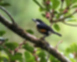 Spot-crowned Barbet_edited.jpg