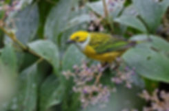 Silver-throated Tanager 1_edited.jpg