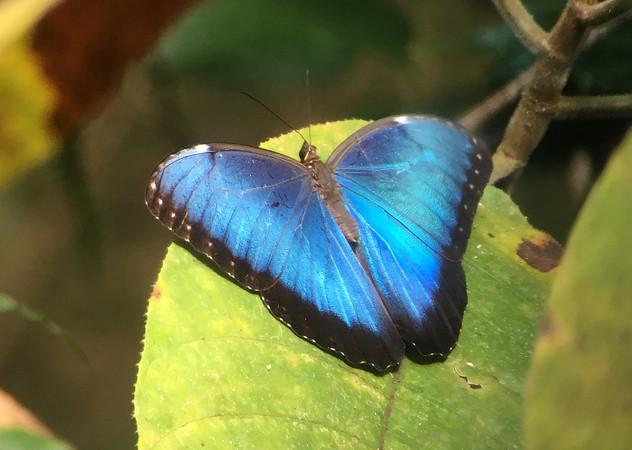 Common (Blue) Morpho