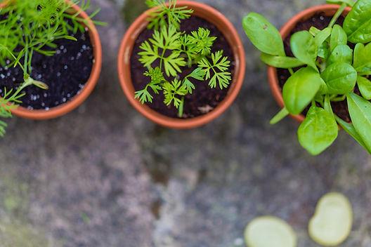 Sazenice v květináčích