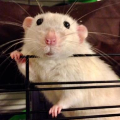 Common illnesses – why pet rodents need a vet