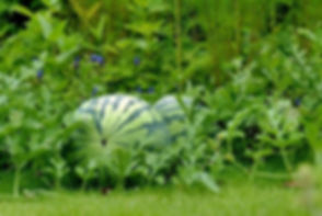 budidaya semangka.jpg