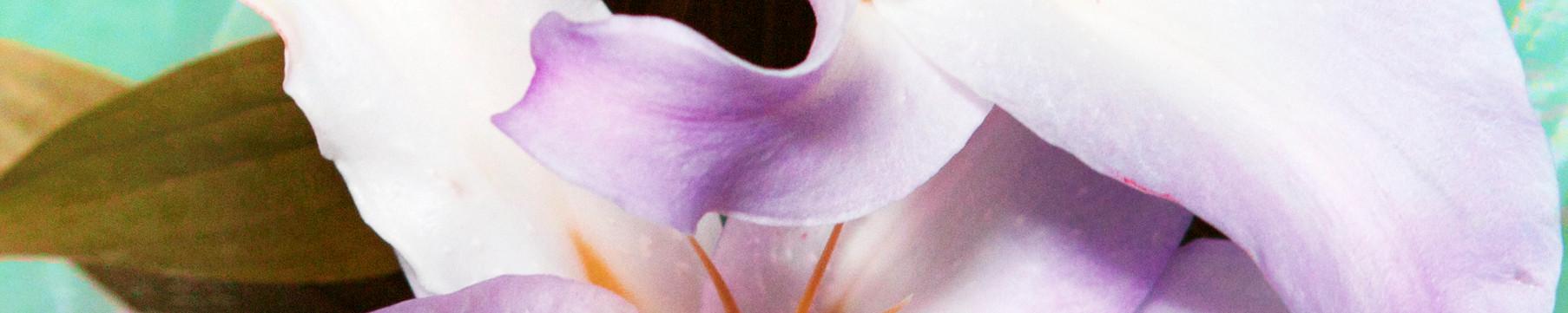 Hybrid Flower_Lily