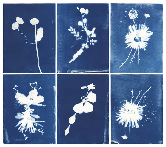 Hybrid Flowers Cyanotype Specimina #13-#18