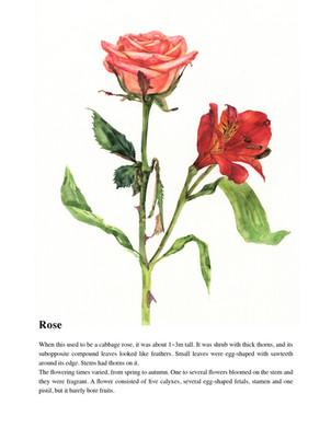 Illustrated Book of Hybrid Flowers_Rose