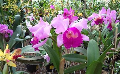 Orquideas Pink ..BR.... (2).jpg