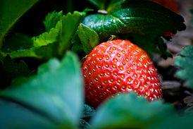 Aquaponics Strawberry in Media