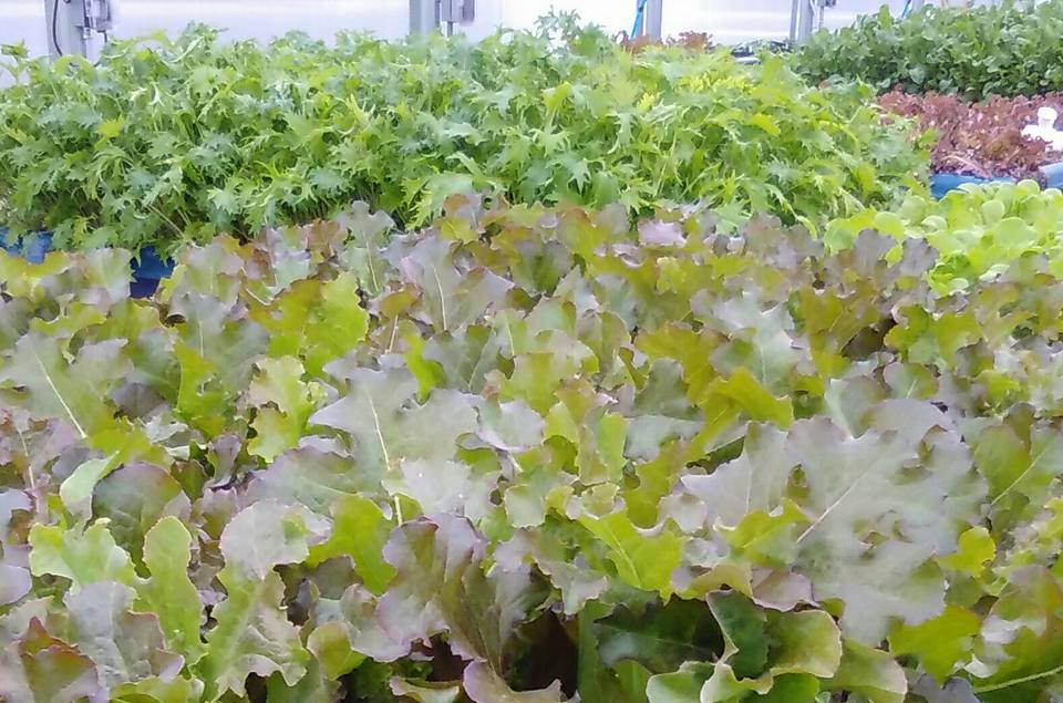 Waves of beautiful leafy lettuce!