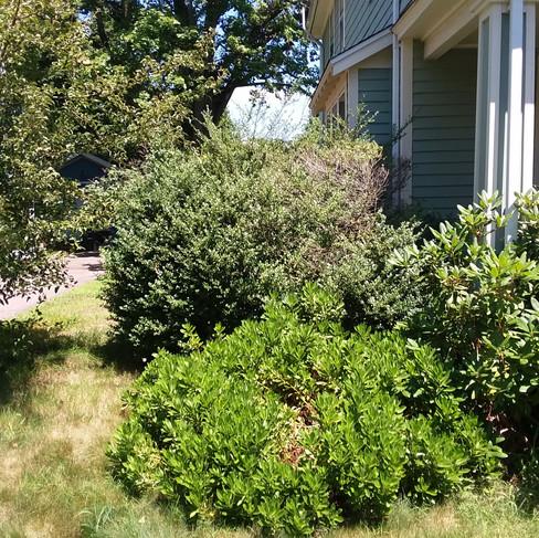 J. Kaufman shrub removal (before).jpg