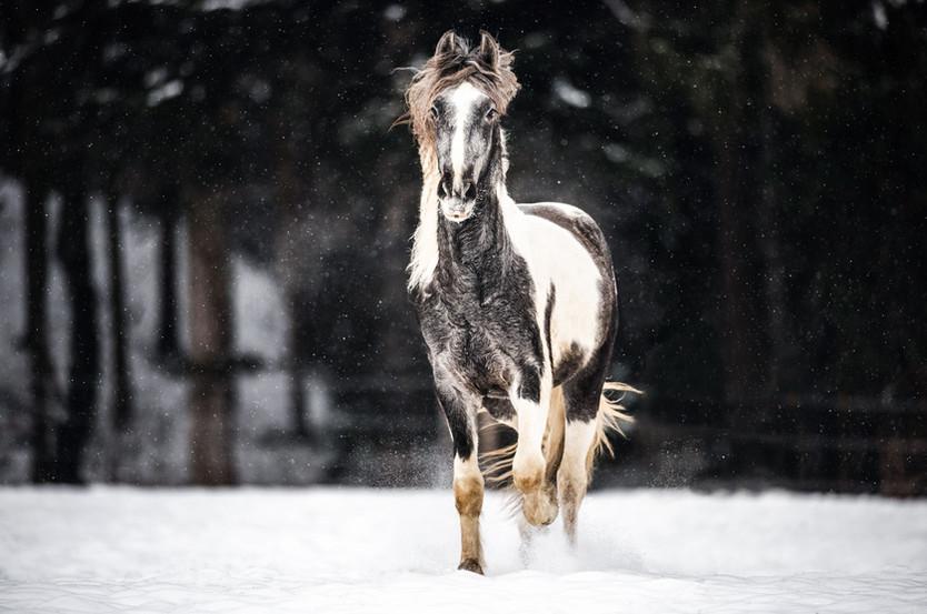 Pferdefotografie_Hengste_Rebano