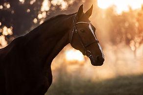 Pferdefotografie_Portrait_Sonnenaufgang.