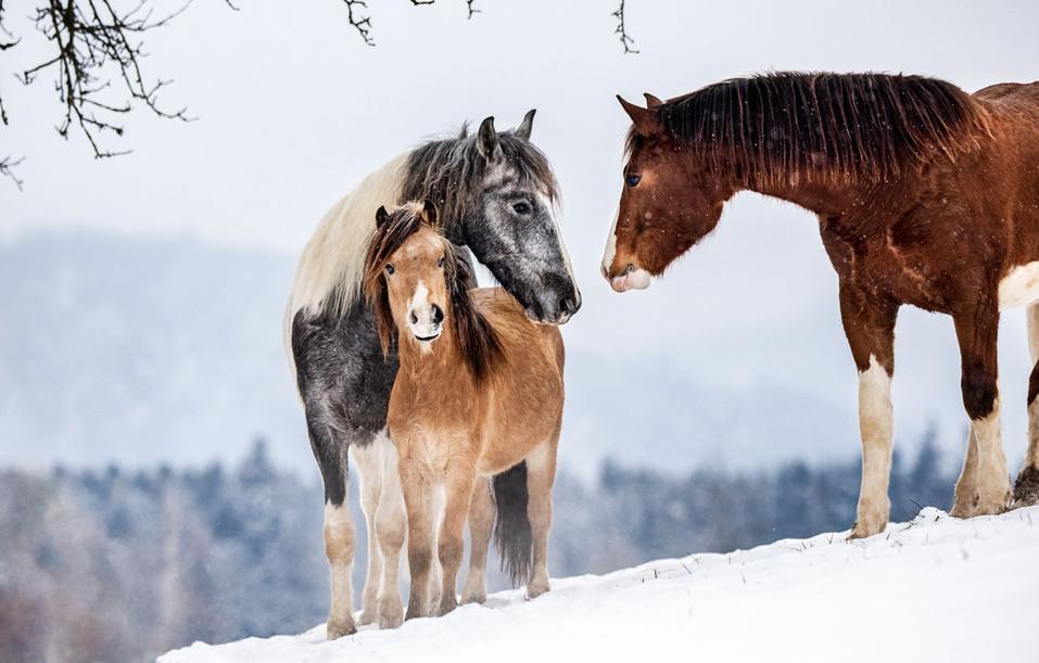 Pferdefotografie_Hengstgruppe