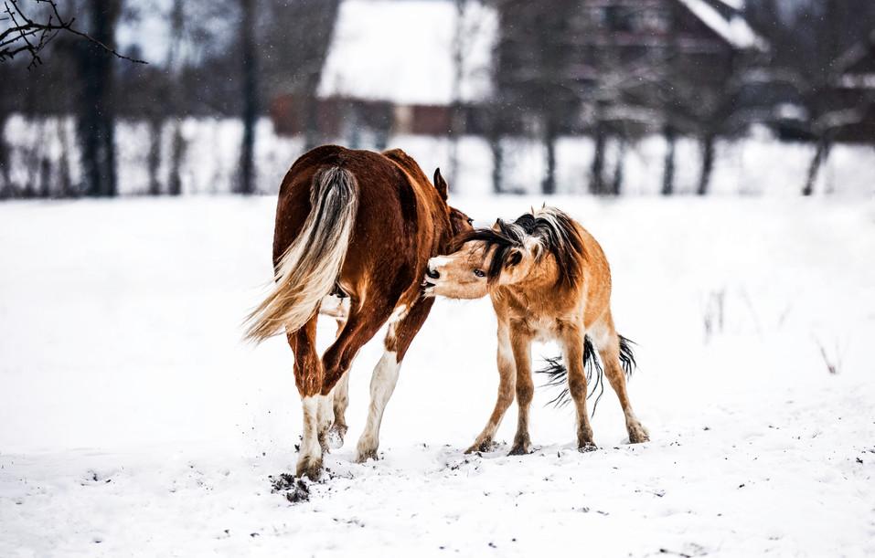 Pferdefotografie_Hengste
