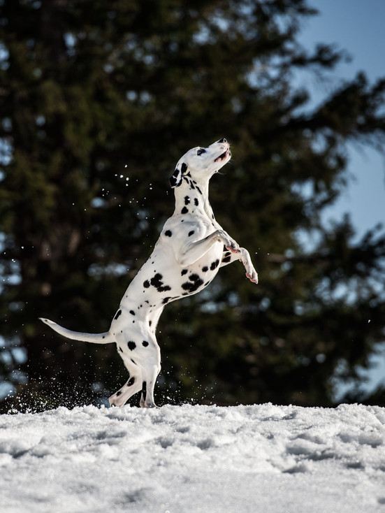 Hundefotografie_Rigi_Billie Jean