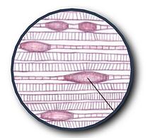 miscro-spams in muscle fibers diagram