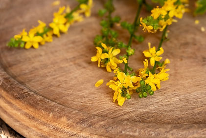 Fresh blooming agrimony plant on a table