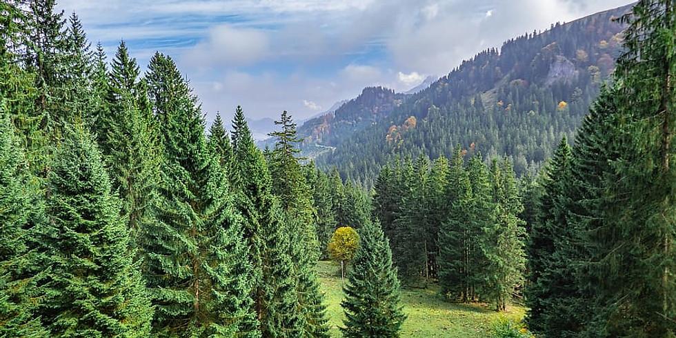 Cascades Conifers