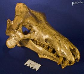 archaeotherium_DSC_0718.JPG