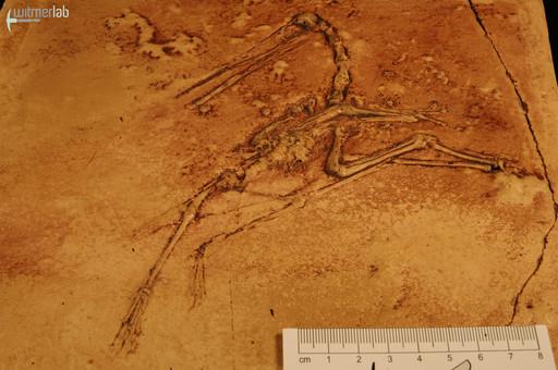 pterodactylus_DSC_8219.JPG